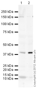 Western blot - Anti-HSD11B2 antibody (ab117886)
