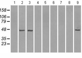 Western blot - Anti-Isocitrate dehydrogenase antibody [2H9] (ab117976)
