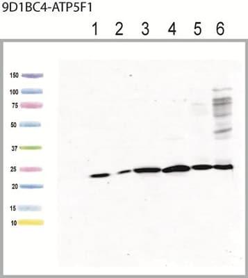 Western blot - Anti-ATP5F1 antibody [9D1BC4] (ab117991)