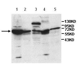 Western blot - Anti-ISYNA1 antibody (ab118241)
