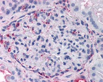 Immunohistochemistry (Formalin/PFA-fixed paraffin-embedded sections) - Anti-GPR108 antibody (ab118431)