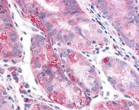 Immunohistochemistry (Formalin/PFA-fixed paraffin-embedded sections) - Anti-TMEM33 antibody (ab118435)