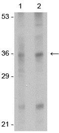 Western blot - Anti-IL33 antibody (ab118503)