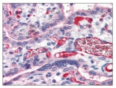 Immunohistochemistry (Formalin/PFA-fixed paraffin-embedded sections) - Anti-Fibrinogen antibody (ab118533)