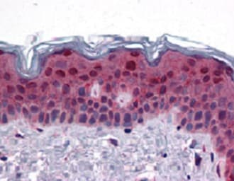 Immunohistochemistry (Formalin/PFA-fixed paraffin-embedded sections) - Anti-FAM120B antibody (ab118589)