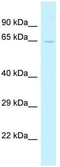Western blot - Anti-TRMT5 antibody (ab118666)
