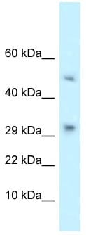 Western blot - Anti-C3orf23 antibody (ab118668)