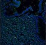 Immunohistochemistry (Frozen sections) - Anti-CCR11 antibody (ab118670)