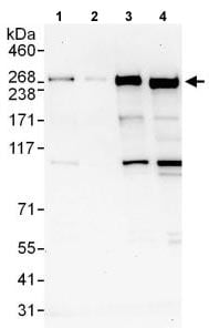 Western blot - Anti-DOCK7 antibody (ab118790)