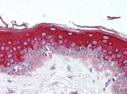 Immunohistochemistry (Formalin/PFA-fixed paraffin-embedded sections) - Anti-G protein beta subunit like antibody (ab118909)