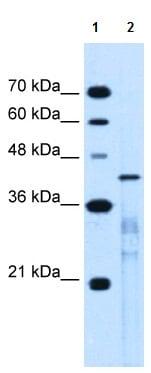 Western blot - Anti-MARVELD3 antibody (ab118916)