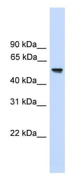 Western blot - Anti-FZR1 antibody (ab118939)