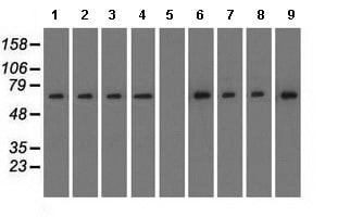 Western blot - Anti-RanGAP1 antibody [1B4] (ab119092)