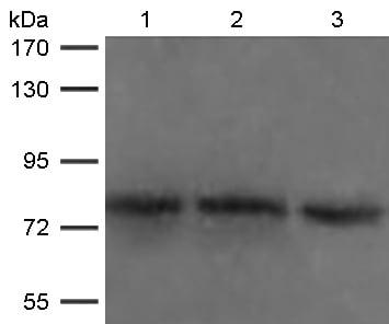 Western blot - Anti-DDX4 / MVH antibody (ab119322)