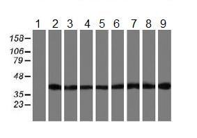 Western blot - Anti-SETD7 antibody [2D10] (ab119400)