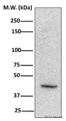 Western blot - Anti-CKII alpha (phospho T360 + S362) antibody (ab119410)