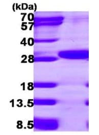 SDS-PAGE - ETHE1 protein (ab119454)