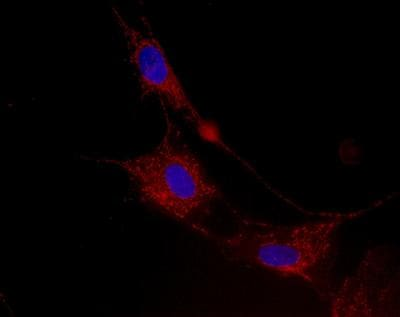 Immunocytochemistry/ Immunofluorescence - Anti-SLIRP antibody [1E10BC8] (ab119687)