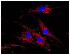 Immunocytochemistry/ Immunofluorescence - MDH2 Human Activity Assay Kit (ab119693)