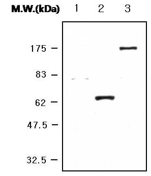 Western blot - Anti-HA tag antibody [LF7H5] (ab119703)