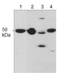 Western blot - Anti-C1orf187 antibody (ab119707)