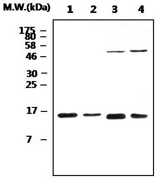 Western blot - Anti-Peroxiredoxin 5 antibody (ab119712)