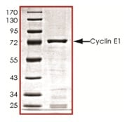 SDS-PAGE - Cyclin E1 protein (ab119719)