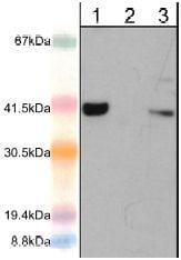 Western blot - Anti-AIM2 antibody (ab119791)