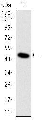 Western blot - Anti-DLK antibody [3A10] (ab119930)