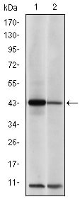 Western blot - Anti-c-Jun antibody [5B1] (ab119944)