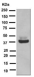 Western blot - Anti-Maltose Binding Protein antibody [EPR4744] (ab119994)