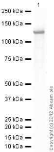 Western blot - Anti-beta Galactosidase antibody (ab12081)