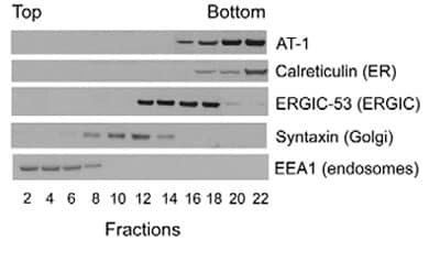 Western blot - Syntaxin 6 antibody [3D10] (ab12370)