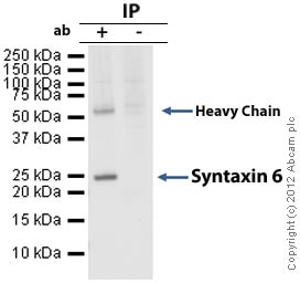 Immunoprecipitation - Anti-Syntaxin 6 antibody [3D10] (ab12370)
