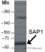 Western blot - SAP1 antibody (ab12556)