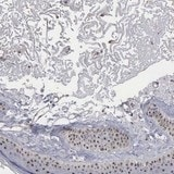 Immunohistochemistry (Formalin/PFA-fixed paraffin-embedded sections) - Anti-NGDN antibody (ab121124)
