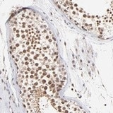 Immunohistochemistry (Formalin/PFA-fixed paraffin-embedded sections) - Anti-WDR25 antibody (ab121170)