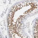 Immunohistochemistry (Formalin/PFA-fixed paraffin-embedded sections) - Anti-IFT43 antibody (ab121195)
