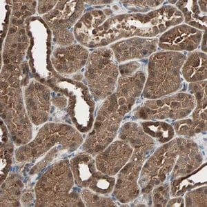 Immunohistochemistry (Formalin/PFA-fixed paraffin-embedded sections) - Anti-DRG2 antibody (ab121268)