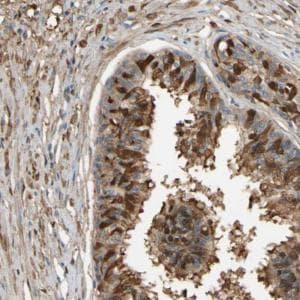 Immunohistochemistry (Formalin/PFA-fixed paraffin-embedded sections) - Anti-CSMD2 antibody (ab121288)