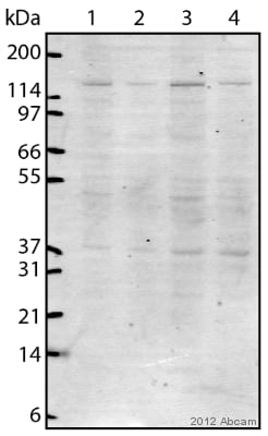 Western blot - Anti-URB2 antibody (ab121292)