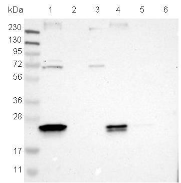 Western blot - Anti-C10orf58 antibody (ab121296)