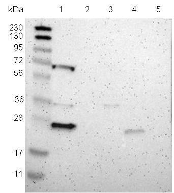 Western blot - Anti-PRRG4 antibody (ab121298)