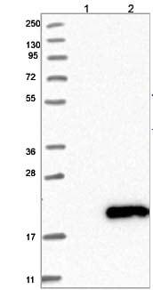 Western blot - Anti-C8orf40 antibody (ab121335)