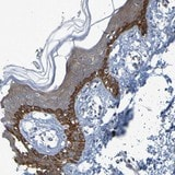 Immunohistochemistry (Formalin/PFA-fixed paraffin-embedded sections) - Anti-NPRL3 antibody (ab121346)