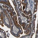 Immunohistochemistry (Formalin/PFA-fixed paraffin-embedded sections) - Anti-FAM159B antibody (ab121348)