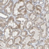 Immunohistochemistry (Formalin/PFA-fixed paraffin-embedded sections) - Anti-LILRB5 antibody (ab121357)