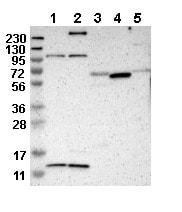 Western blot - Anti-MRPL52 antibody (ab121366)