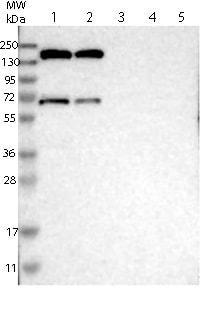 Western blot - Anti-GPR158 antibody (ab121388)