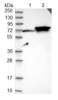 Western blot - Anti-FUT11 antibody (ab121411)